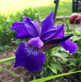 紫色虹膜在春天 免版税图库摄影