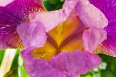 紫色虹膜在直接阳光下 免版税库存图片