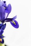 紫色虹膜开花 免版税库存照片