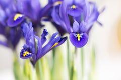 紫色虹膜开花 库存照片