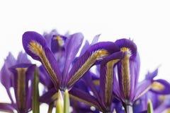 紫色虹膜开花 免版税图库摄影