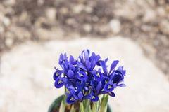 紫色虹膜开花 库存图片
