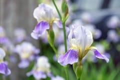 紫色虹膜花关闭  免版税库存照片