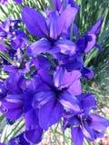 紫色虹膜花在5月 免版税图库摄影