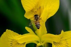 黄色虹膜蜂 免版税库存照片
