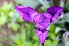 紫色虹膜 免版税库存图片