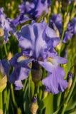 紫色虹膜 库存图片