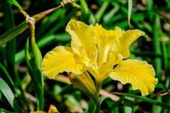 黄色虹膜 库存照片