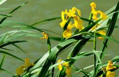 黄色虹膜pseudacorus 库存照片