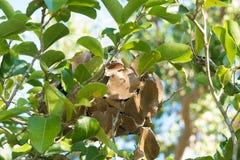 绿色蚂蚁做的叶子巢 库存图片