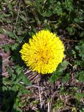 黄色蚂蚁 免版税库存图片