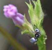 黑色蚂蚁 免版税库存照片