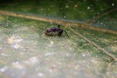 黑色蚂蚁 库存图片