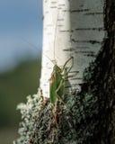 绿色蚂蚱坐白桦树和蓝天背景 库存图片