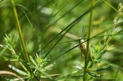 绿色蚂蚱坐草 免版税图库摄影