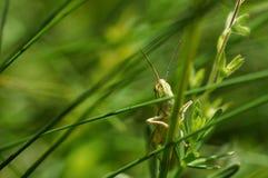 绿色蚂蚱坐草 免版税库存照片