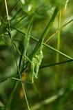 绿色蚂蚱坐草3 库存照片