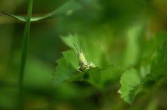 绿色蚂蚱坐草5 免版税图库摄影