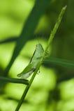 绿色蚂蚱坐agrass -特写镜头 免版税库存图片