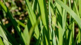 绿色蚂蚱是亚目Caelifera的昆虫在命令直翅类内的,包括蟋蟀和katydids 库存图片