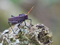 紫色蚂蚱 免版税图库摄影
