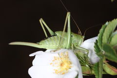 绿色蚂蚱 免版税库存图片