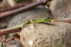 年轻绿色蛇怪在哥斯达黎加 免版税库存图片