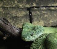绿色蛇蝎 免版税库存图片