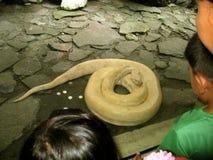 黄色蛇,马尼拉动物园,马尼拉,菲律宾 库存图片