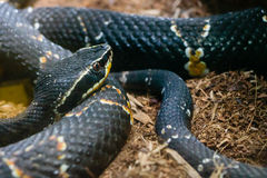 黑色蛇黄色 免版税图库摄影