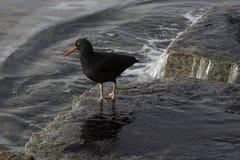 黑色蛎鹬 库存图片