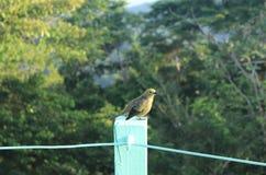 绿色蜂蜜爬行物鸟,站立在接近机盖塔小屋的一个分支,巴拿马 库存照片