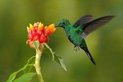 绿色蜂鸟在与清楚的backgr的美丽的红色花旁边绿色加冠了精采, Heliodoxa jacula,从哥斯达黎加飞行 库存图片
