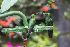 绿色蜂鸟在哥斯达黎加 库存照片