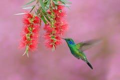 绿色蜂鸟绿色紫罗兰色耳朵, Colibri thalassinus,飞行在美丽的桃红色和紫罗兰色花旁边, Savegre,巴拿马 免版税库存照片