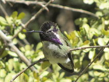 紫色蜂鸟 库存照片
