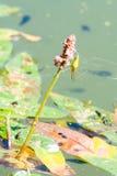 绿色蜘蛛坐在池塘眼子菜属的一朵花 库存照片