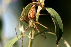 绿色蜘蛛 库存照片