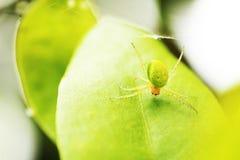 绿色蜘蛛 免版税库存图片
