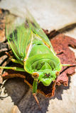 绿色蝉 免版税库存图片
