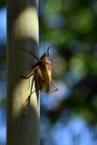 绿色蝗虫坐管子 库存图片