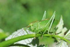 绿色蝗虫 免版税库存照片