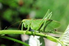 绿色蝗虫 库存照片