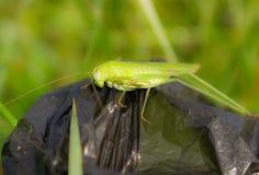 绿色蝗虫 免版税库存图片