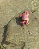 紫色螃蟹 免版税图库摄影