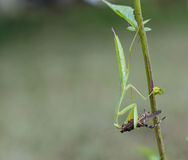 绿色螳螂吃一只棕色蚂蚱 免版税库存图片