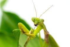 绿色螳螂捉住并且吃臭虫 在绿色叶子的螳螂在白色背景 免版税库存图片