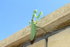 绿色螳螂 图库摄影