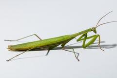 绿色螳螂 免版税库存图片