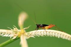 黑色蟋蟀 库存照片